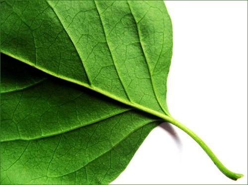 ~ Leaf Study ~ by cnm_123