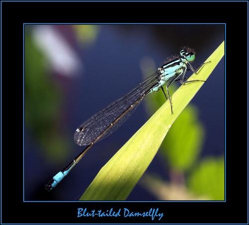 Blue-tailed Damselfly by sherlob