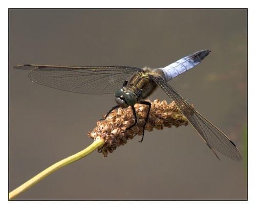 Black-tailed Skimmer by sherlob
