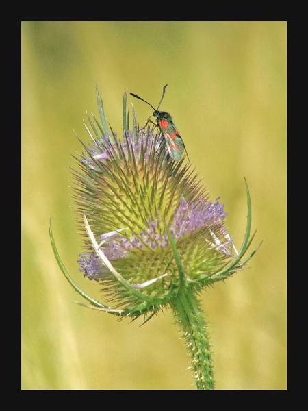 Teasel & Burnet Moth by Ricardos