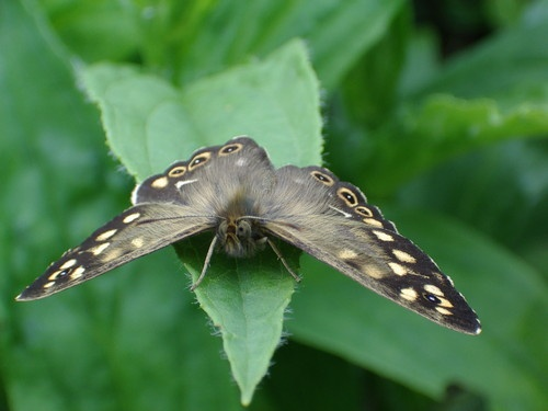 Speckled Wood by Reetypips