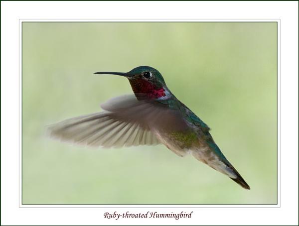 Ruby-throated Hummingbird by billma