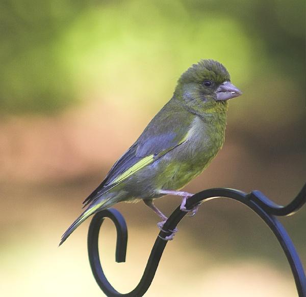 Greenfinch by pfairhurst