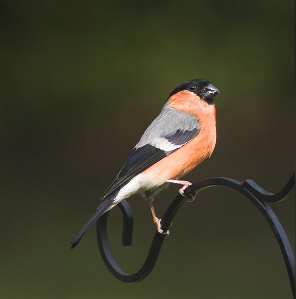 Return of the Bullfinch by pfairhurst