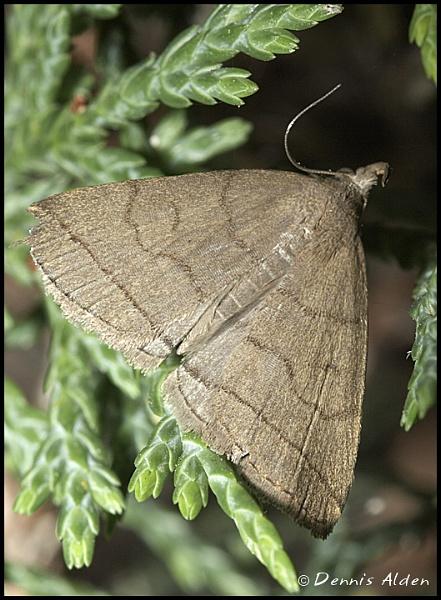 Moth by Dennis.Alden