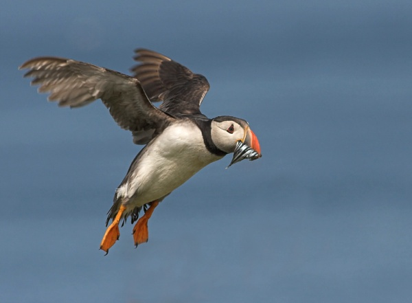 Puffin by John_Wannop