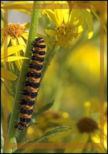 Cinnabar caterpillar by wbk666