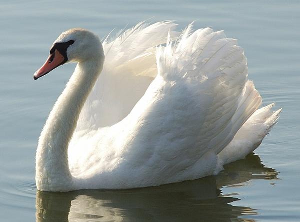 Swan(2) by WayneG