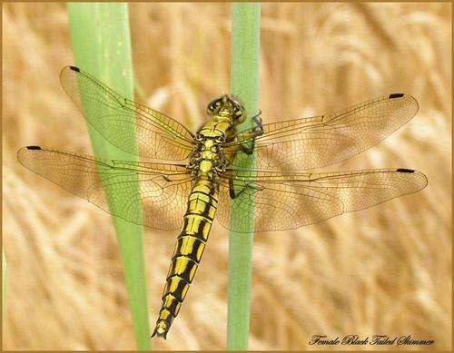 Female Skimmer by Ajack