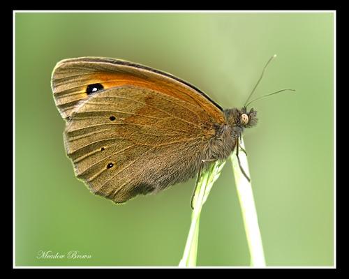 Meadow Brown by Ajack
