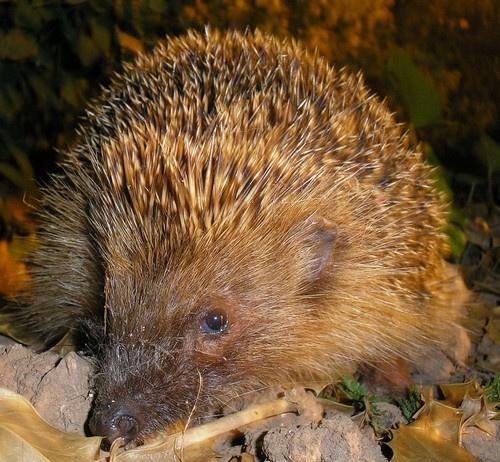 Harry hedgehog by Emmaelle