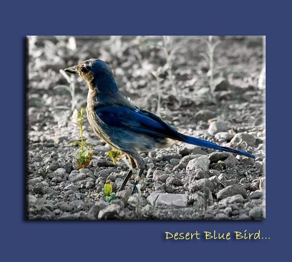 Desert Blue Bird by RoddBC