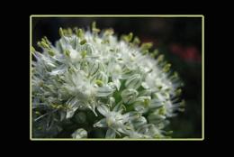 Whie Allium