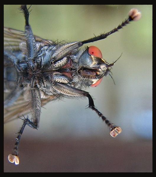 Macro Fly by KarenFB
