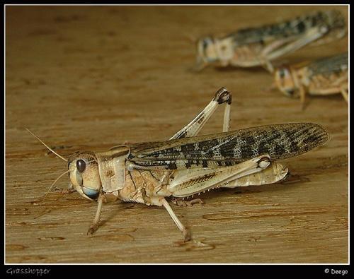 Grasshopper by Deego