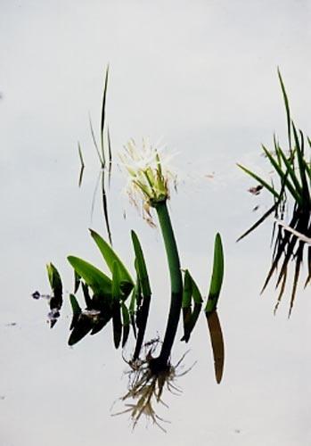 Lily reflected by tarara