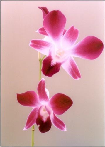 Dendrobium by Noddyboy