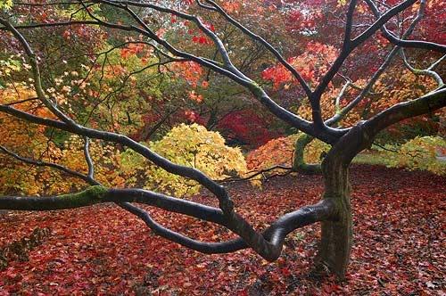 majestic maple by barrywebb