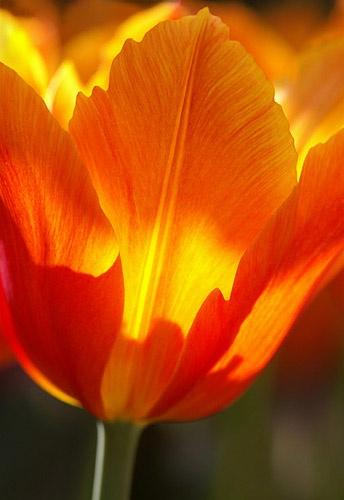 tulip glow by barrywebb