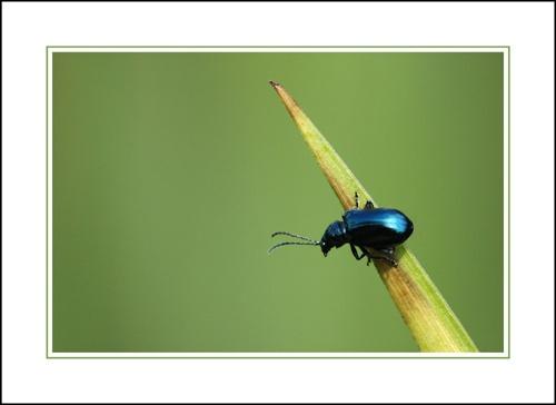 Blue beetle by sferguk