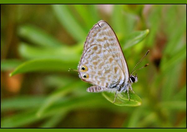 A Langs short tailed blue hairstreek
