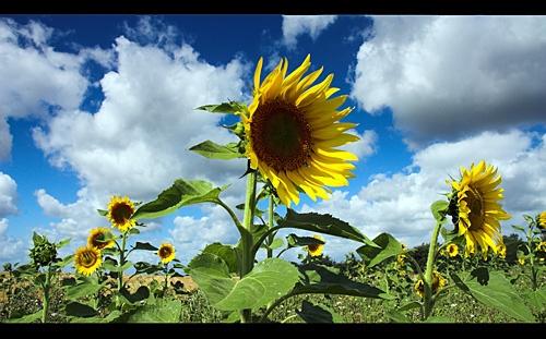 Sun Flowers by mark_elford