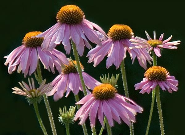 Echinacea by laingdonaldson