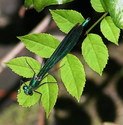 GREEN on green dragon fly by Matthew_Leyshon