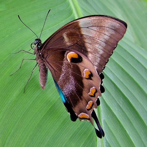 Swallowtail by pamelajean