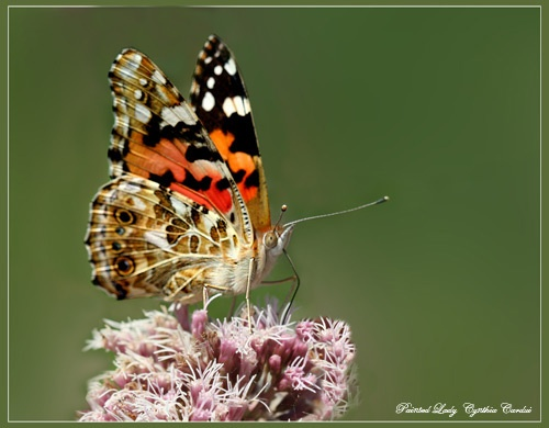 Painted Lady by Ajack