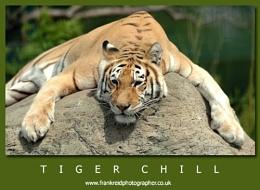Tiger Chill