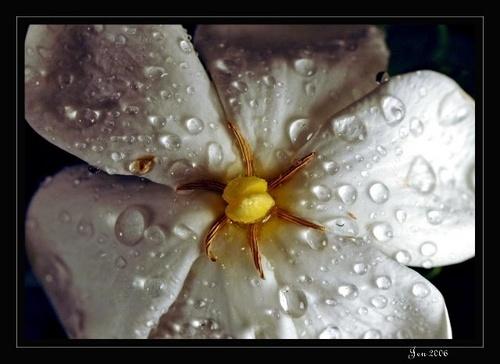Gardenia by JenG
