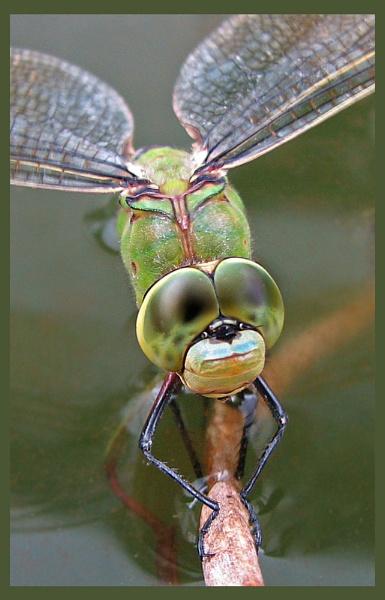 Emperor Dragonfly by KarenFB
