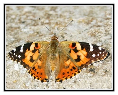 Butterfly by PAllitt