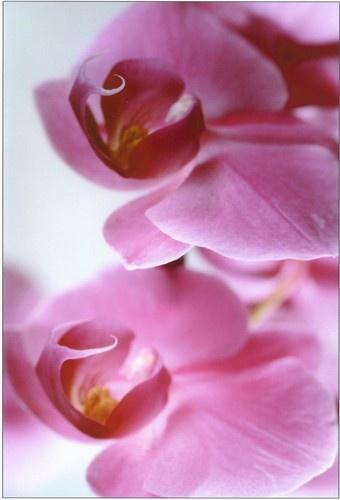Tinge of Pink 2 by Noddyboy