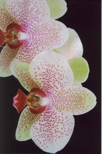 Lime Tinted Phalaenopsis by Noddyboy