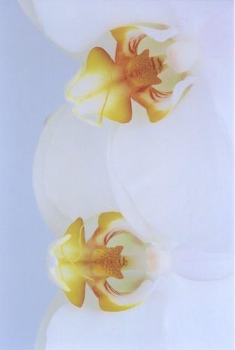 Large Flowered Ceramic White Phalaenopsis by Noddyboy