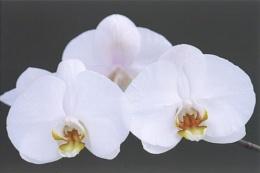 Large Flwered White Ceramic Phlalaenopsis