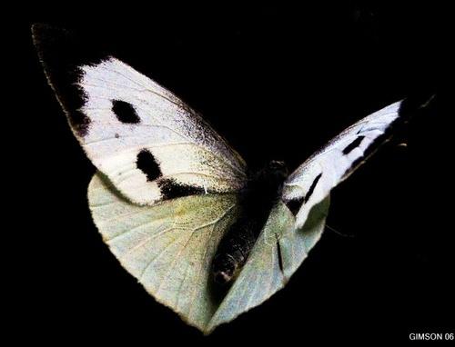 night moth by Simon-Gimson