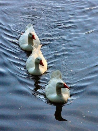 Three Geese by chensuriashi