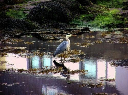 Heron by iainmack