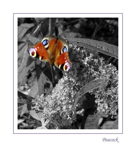 Peacock by Alphotos
