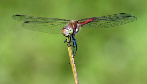 Common Darter II by achilles2k