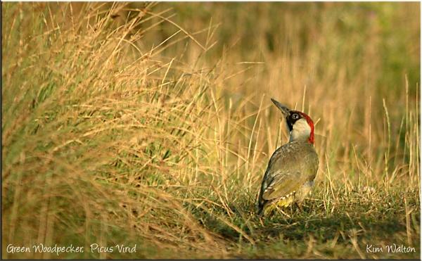 Green Woodpecker by Kim Walton