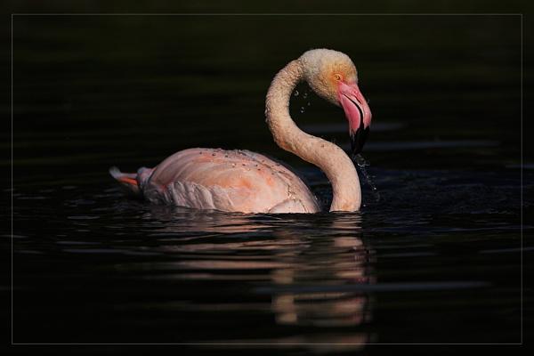 Bathing Flamingo by zippie