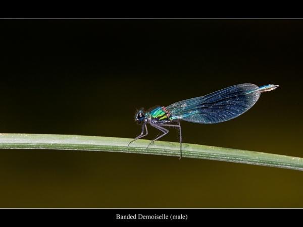 Banded Demoiselle by gtroop