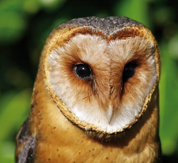 Dark Barn Owl by mohikan22