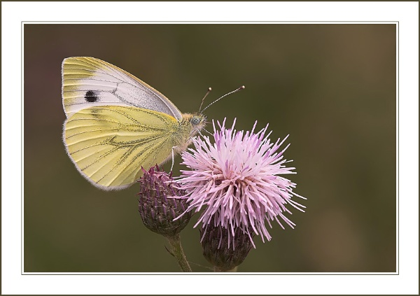 Large White. by proberts