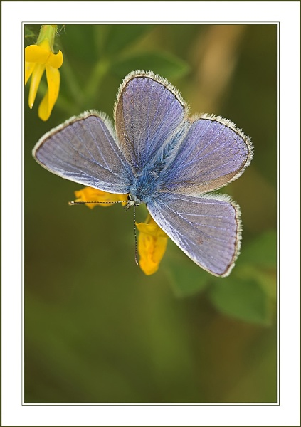 Common Blue by proberts