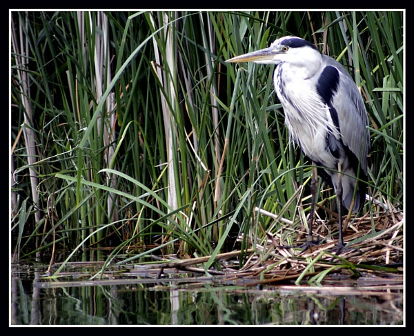 Heron by Naturesview